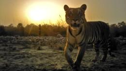 Hightech schützt Tiger
