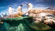 Geschützt: Die Pinguine im Frankfurter Zoo schwimmen hinter Glas. Auch die neue Anlage, die derzeit gebaut wird, soll Diebstähle unmöglich machen.