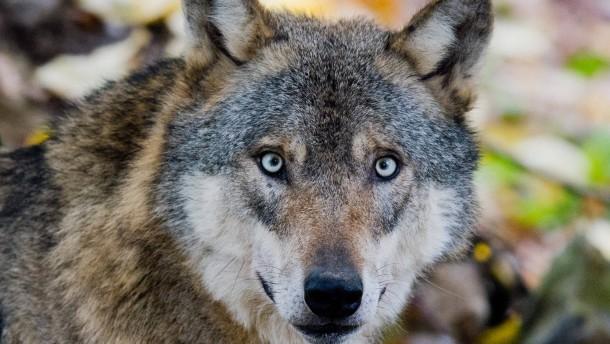 Die Wölfe sind unter uns