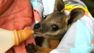 Pfleger adoptieren erfolgreich ein Känguru-Baby