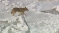 Wilder Kojote auf Eisfläche unterwegs