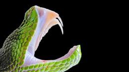 Die heimtückischen Giftspritzen der Schlangen