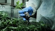 Wachstum ohne Ende: Der Anbau von Cannabis beflügelt die Fantasie.