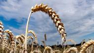 Reifer Weizen auf einem Feld: Als erstes Land der Welt hat Argentinien eine genmanipulierte Weizensorte zugelassen.