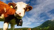Kuhglockengeläut erfreut nicht jeden.