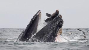 Fotograf schießt spektakuläres Bild von Seelöwe in Wal-Maul