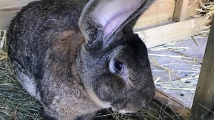 Britische Polizei sucht Diebe des größten Kaninchens der Welt