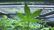 Der legale Handel mit Cannabis