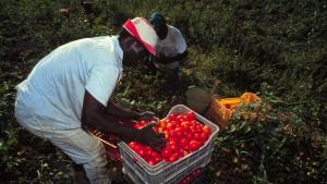 Moderne Sklaven auf den Tomatenfeldern
