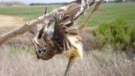 Ein Fächer-Waldsänger klebt auf Zypern an einer Leimrute fest.