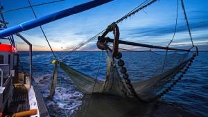 Kabeljau-Fischer in der Nordsee verlieren MSC-Umweltsiegel