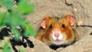 Hamster sammeln so viel, wie es geht