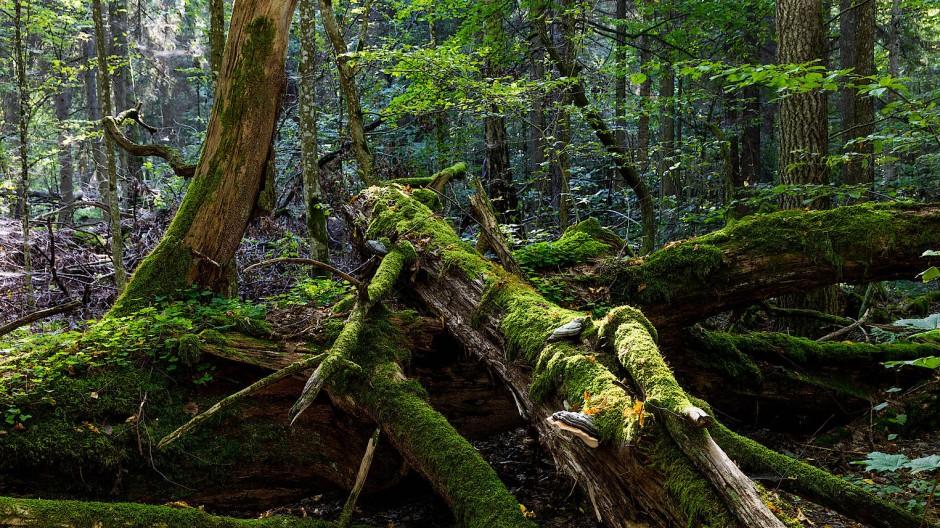 Totholz ist ein wichtiger Bestandteil des Ökosystems. Es bietet Insekten und Pilzen einen Lebensraum und hält das Rotwild von jungen Bäumen fern.