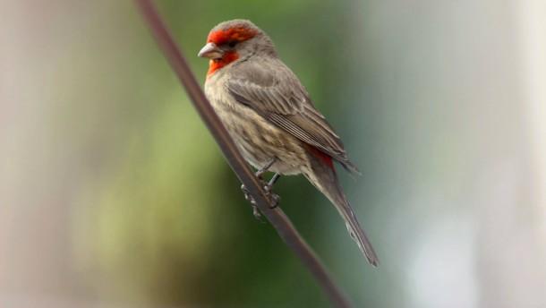 Zigarettenstummel im Vogelnest halten Parasiten fern