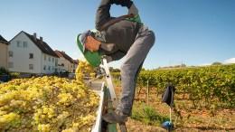 Winzer wollen Weinberge künftig bewässern