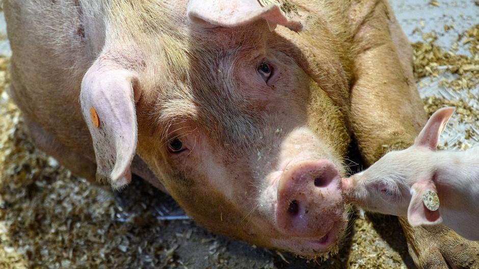 Auch in der Schweinemast kommen Antibiotika zum Einsatz.