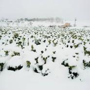 Von wegen sonniger Süden: frierender Brokkoli in der spanischen Provinz Murcia am 19. Januar 2017