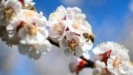 Bienen auf einer Obstplantage am Bodensee auf einer Kirschblüte.