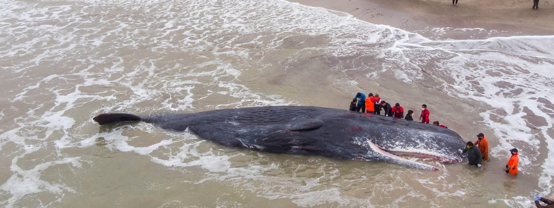 Pottwal strandet und stirbt an Küste Argentiniens
