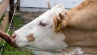 Lidl lässt Milchkühe gentechnikfrei füttern
