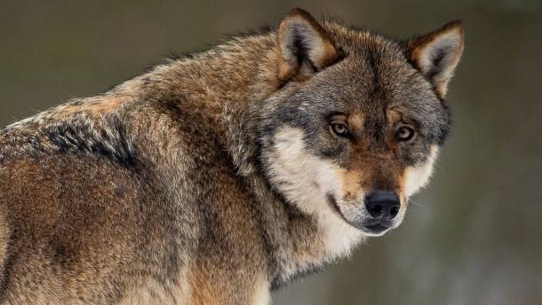 Wolf mitten in Köln gesichtet