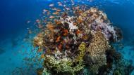 Fische am Great Barrier Reef: Die weltweite Rate des Artensterbens sei derzeit zehn- bis hundertmal höher als im Schnitt der vergangenen 10 Millionen Jahren, teilten die Vereinten Nationen mit.