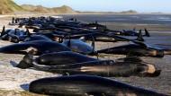 Wal-Kadaver in Neuseeland drohen zu explodieren