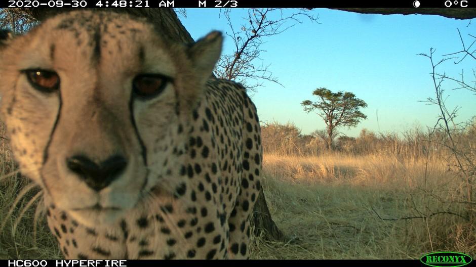 Ein Gepard in der Kamerafalle