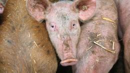 Stau im Schweinestall