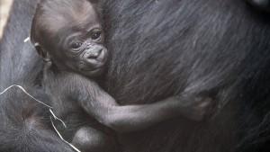 Verhüten, verkaufen, verfüttern: So steuern Zoos ihren Tierbestand