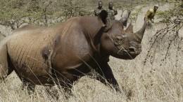 Acht gefährdete Nashörner nach Umsiedlung verendet