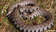 Forscher entdecken siebte Schlangenart