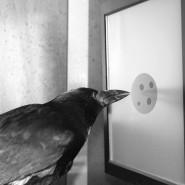 Auch Krähen können zählen, wie zahlreiche Experimente belegen.