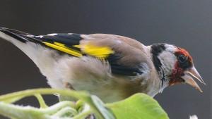 Der Stieglitz ist Vogel des Jahres