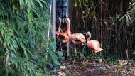 Ab ins Haus: Flamingos auf dem Weg in das Gehege, in dem sie untergebracht werden, um sie vor einer Ansteckung mit Vogelgrippe zu schützen.
