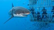 Touristenattraktion mit Hai: Mensch und Tier trennen nur Gitterstäbe.