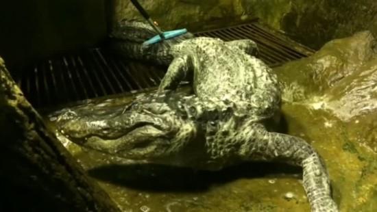 """Abschied von Alligator """"Saturn"""""""