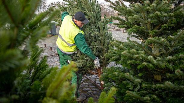 Weihnachtsbäume werden dieses Jahr wohl teurer