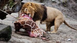 Baby-Giraffe an Löwen verfüttert