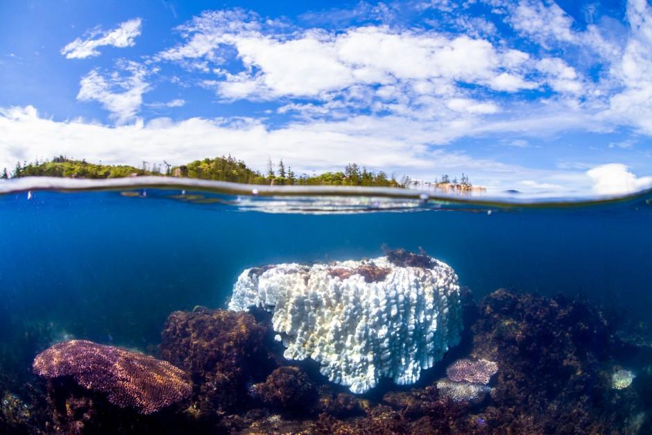 Eine etwa zwei Meter große gebleichte Koralle am Great Barrier Reef: Zum Zeitpunkt der Aufnahme im März betrug die Wassertemperatur 32 Grad Celsius.