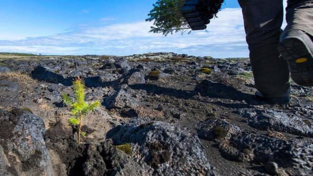Island soll wieder Wälder bekommen