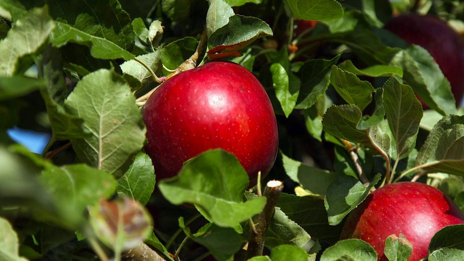 """Um diese Äpfel ist ein Hype ausgebrochen: """"Cosmic Crisp"""""""