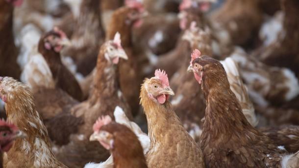 Niederländische Behörden lassen 190.000 Hühner schlachten