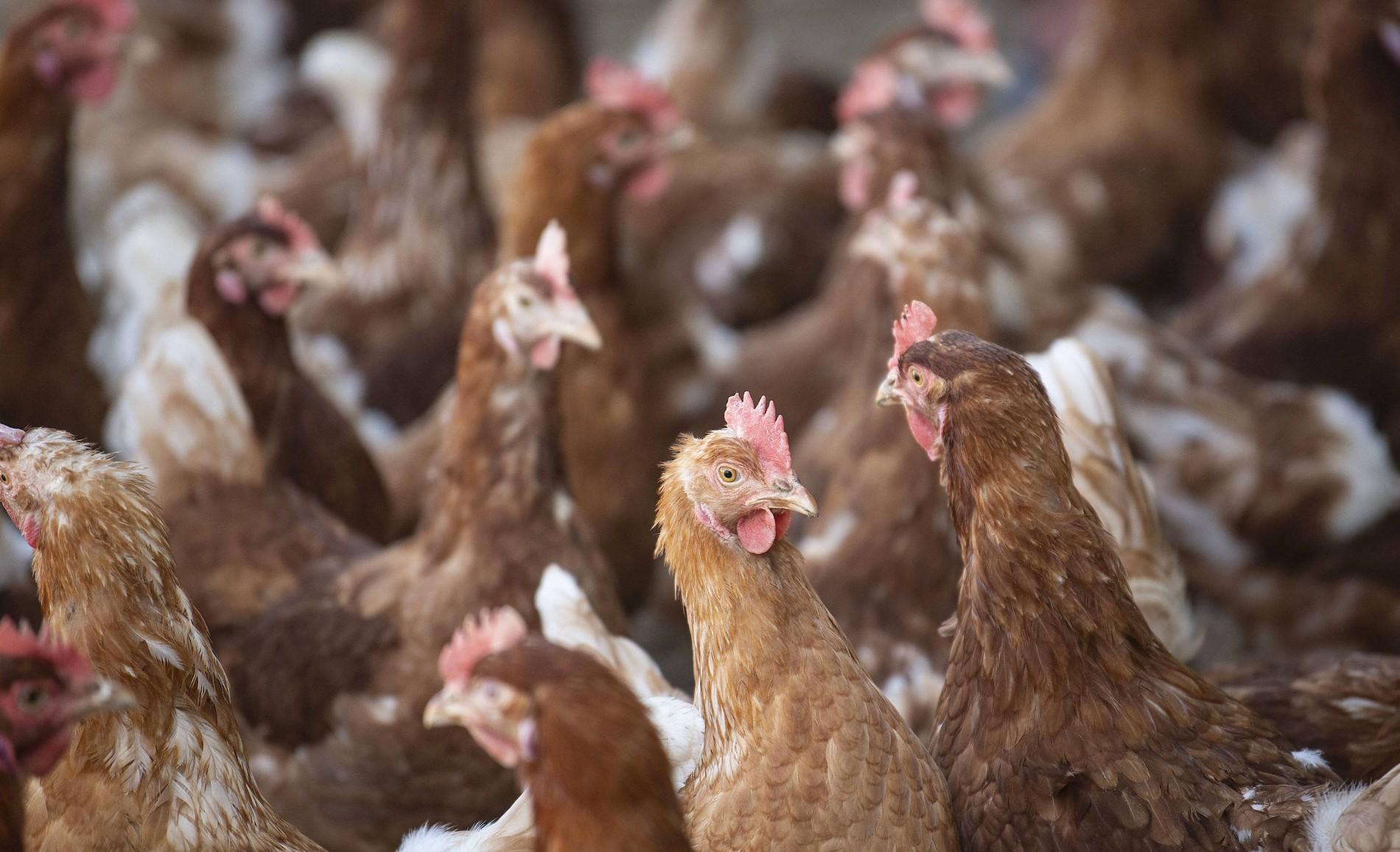 Frauen schlachten hühner