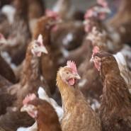 Das Vogelgrippe-Virus ist für den Menschen nicht schädlich, aber für die Landwirtschaft verheerend. (Symbolbild)