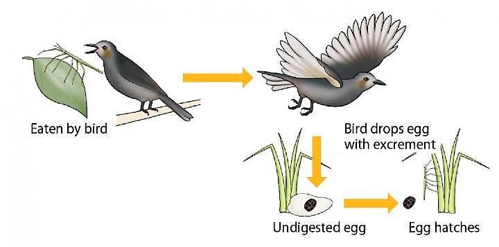 Studienergebnis: Nachdem der Vogel die Stabheuschrecke verzehrt, scheidet er die in ihr liegenden Eier teilweise unversehrt aus - das Insekt schlüpft.