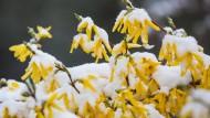 Die Forsythienblüte markiert den Beginn des Erstfrühlings. Das Wetter kann trotzdem noch für Überraschungen sorgen.