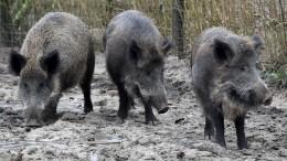 Bauernverband will 70 Prozent aller Wildschweine töten