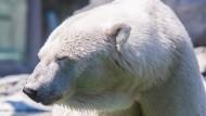 Eis für Eisbären