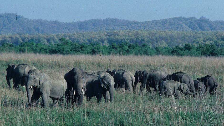Die Asiatischen Elefanten sind in großer Gefahr. Auf diesem Bild ist eine Gruppe Indischer Elefanten, eine Unterart des Asiatischen Elefanten, zu sehen.